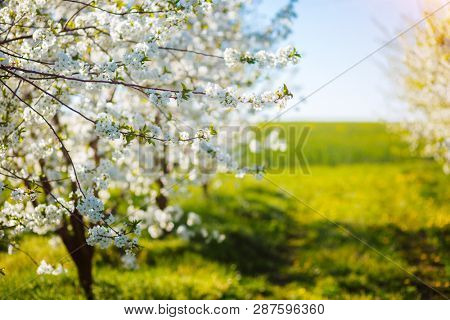 Fantastic ornamental garden with blooming lush trees in idyllic sunny day. Abstract seasonal background. Flowering orchard in spring time. Scenic image of trees in charming garden. Beauty of earth.