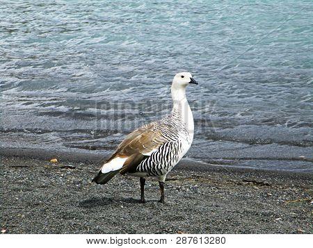 Upland Goose Or Magellan Goose Or Cauquen, Torres Del Paine Chile. The Upland Goose Or Magellan Goos