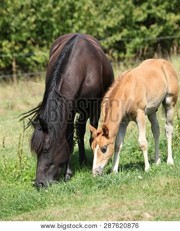 Beautiful Mare With Foal Eating On Pasturage
