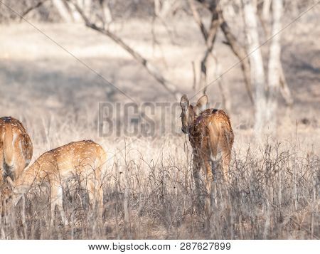 Chital Or Spotted Deer Calf In Ranthambore National Park In Rajasthan, India