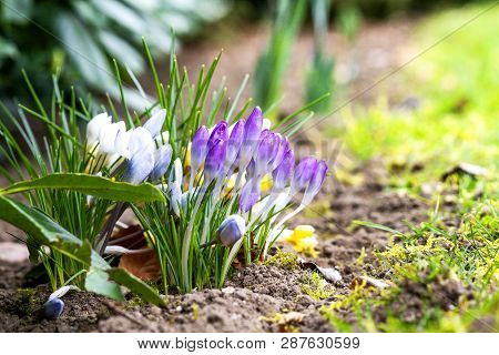 Colorful Crocus Flowers Blooming In A Flowerbed In The Springtime