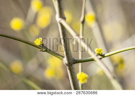 Tree Blooming In The Spring With Yellow Sprouts On A Sunny Day In March