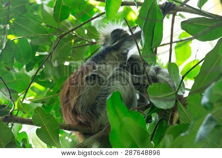 Red colobus Piliocolobus kirki monkey on the deposed wood , Jozani forest, Zanzibar, Tanzania