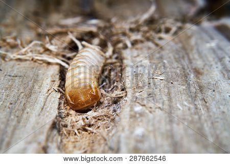 Larva Of A Large Poplar Longhorn Beetle (saperda Carcharias) In The Wood Of A Poplar Tree