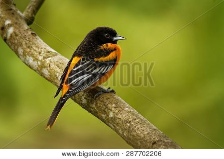 Baltimore Oriole - Icterus Galbula Is A Small Icterid Blackbird Common In Eastern North America As A