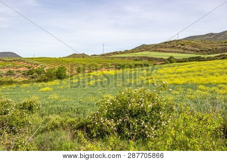 Beautiful May Agricultural Landscape On The Camino De Santiago, Way Of St. James Between Cirauqui An