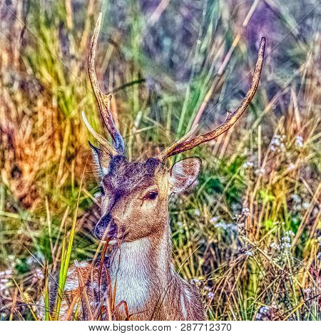 Young Male Chital Or Cheetal (axis Axis), Also Known As Spotted Deer Or Axis Deer - Jim Corbett Nati