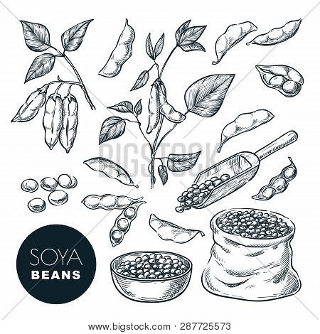 Soybean Sketch Vector Illustration. Soya Beens, Pod On Green Plant And Seeds In Sack. Hand Drawn Iso