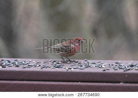 Red House Finch Perched On A Backyard Deck Porch Eating Birdseed