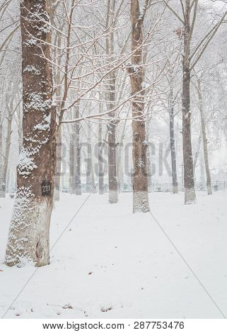 Bare Trees In A Snoww Landscape. Woodland Covered With Snow. Fresh Snow Falling In A Woodland.