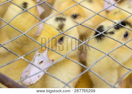 Flock brood of yellow ducklings birds crowd in cage poster