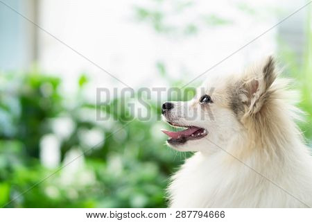 Closeup Cute Pomeranian Dog Looking Something With Happy Moment, Selective Focus