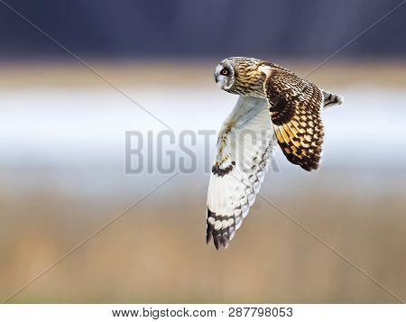 A Short-eared Owl In Flight Over A Field