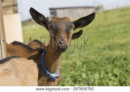 Portrait Of Young Pinzgauer Goat Outdoor In Summertime
