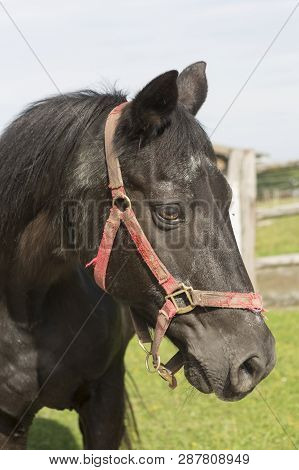 Brown Horse On A Meadow With Red Halter