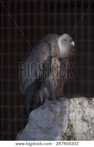 Portrait Of A Griffon (gyps Fulvus) Locked Up Behind A Fence In Front Of Black Background