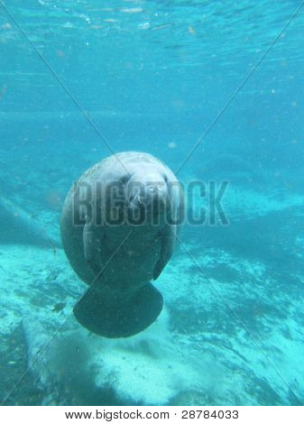 West Indian Manatee Seacow Underwater