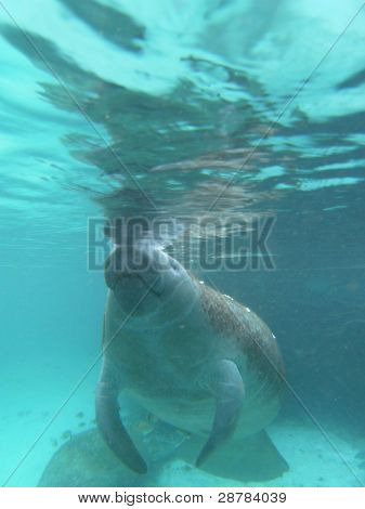 West Indian Manatee Comming Up For A Breath Of Air