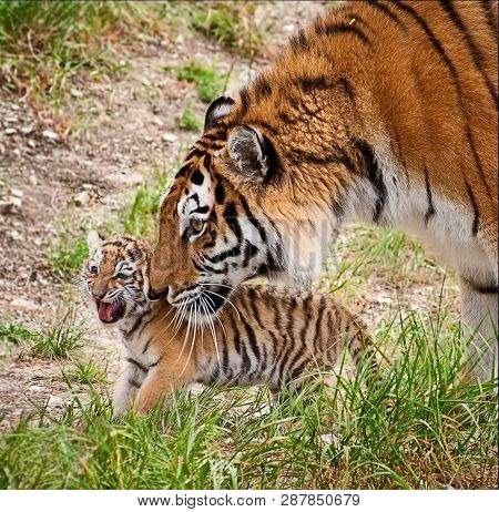 Amur Tigress With A Little Tiger Cub. The Amur Or Ussuri Tiger (lat. Panthera Tigris Altaica) Is A S