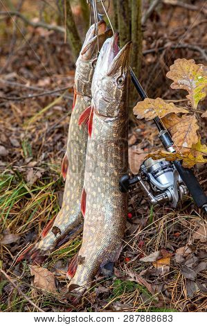 Freshwater Pike Fish. Two Freshwater Pike Fish On Fish Stringer And Fishing Rod With Reel On Yellow