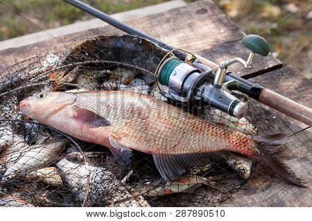 Trophy Fishing. Big Freshwater Common Bream Fish And Fishing Rod With Reel On Landing Net..