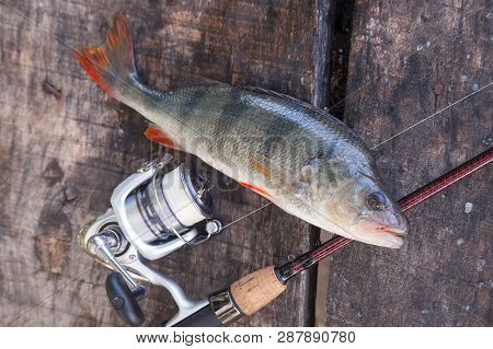 Close Up View Of Big Freshwater Perch And Fishing Equipment On Wooden Background..
