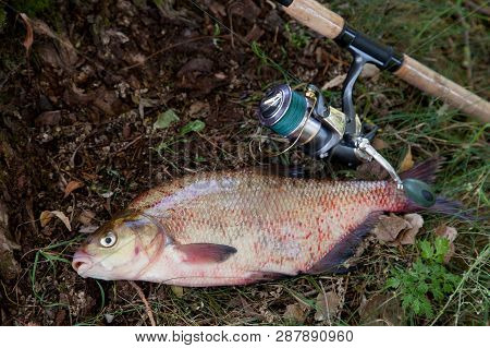 Big Freshwater Common Bream And Fishing Rod With Reel On Natural Background..