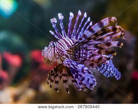 Closeup Portrait Of A Common Lion Fish, A Popular Aquarium Pet In Aquaculture, Tropical Fish From Th