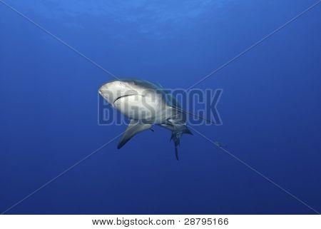 Bull Shark Approach