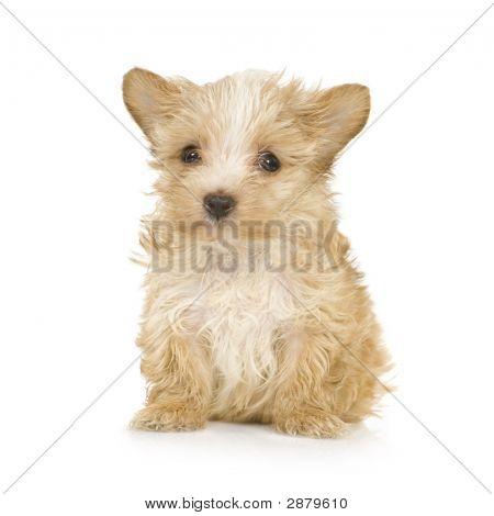Yorkshire Terrier Puppy (2 Months)