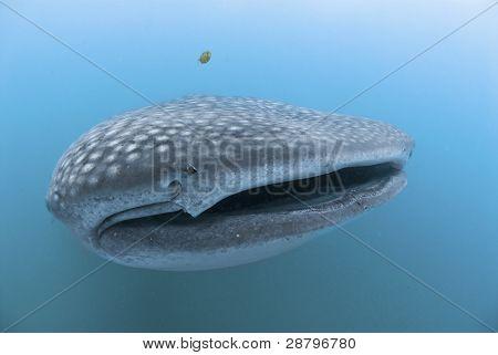 Tiburon boca abierta