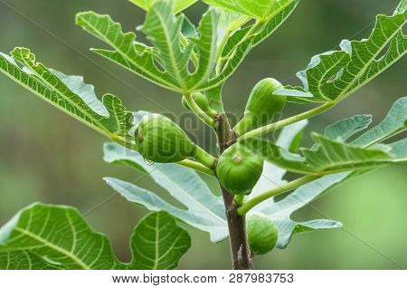 Young Figs On The Branch Of A Fig Tree  On The Branch Of A Fig Tree. Green Fresh Figs. Fruits Of Fig