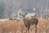 Herd of white-tailed deer (Odocoileus virginianus) in field on winter morning. poster
