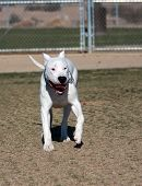 Beautiful Dogo Argentino - Argentine Mastiff playing at the dog park poster