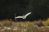 A picture of a white crane taking off from a marsh pond poster