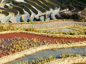 Hani Rice terraces Yuanyang China traditional rice fields in Yunnan poster
