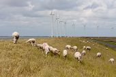 Grazing sheep at a dike with large wind turbines in the Netherlands poster