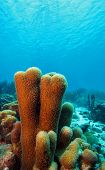 Pillar coral (dendrogya cylindrus)growing in the shallows of the coral reef poster