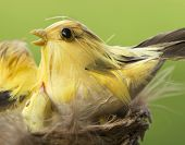 yellow birds on their nest. green background poster