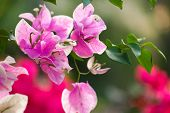 Close up view of bougainvillea purple flower. poster