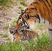 Amur tigress with a little tiger cub. The Amur or Ussuri tiger (Lat. Panthera tigris altaica) is a subspecies of the tiger, the northernmost tiger. Listed in the Red Book poster