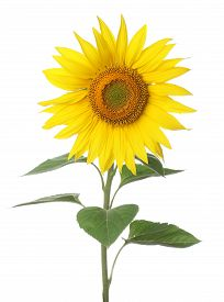Blooming Sunflower Close Up On A White Background, Isolate