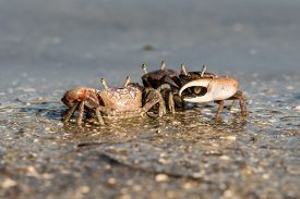 Fiddler Crabs In Canaveral National Seashore, Florida