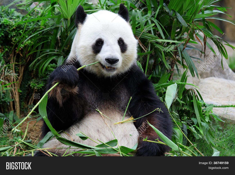 Imagen Y Foto Oso Panda Gigante Comiendo Bambú