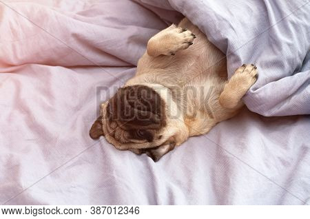 Small Cute Pug Dog Sleeping At Home On The Bed. Good Morning With The Pet