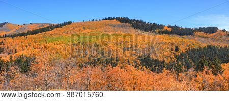 Colorful Aspen trees on mountain top in rural Colorado