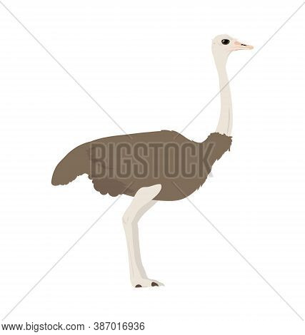 Struthio Camelus Australis - South African Ostrich - Female - Side View - Flat Vector Isolated