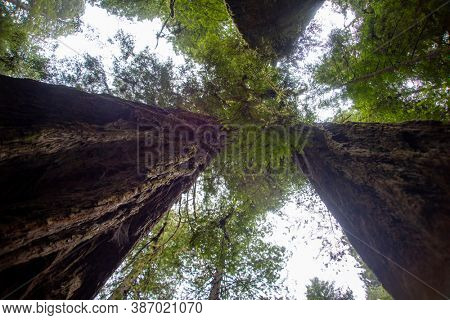 Giant Redwood trees in Tall Trees Grove, Redwood National Park, California