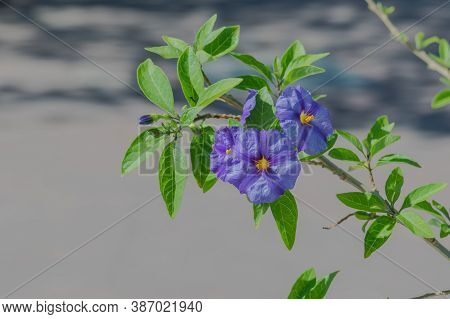 Flowers Paraguay Nightshade Closeup View With Natural Sunlight Outdoors