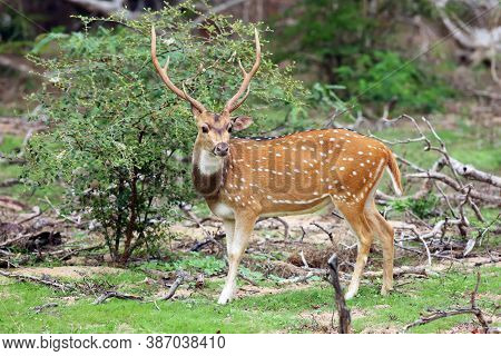 The Chital Or Cheetal (axis Axis), Also Known As Spotted Deer Or Axis Deer, Big Male. A Large Male D